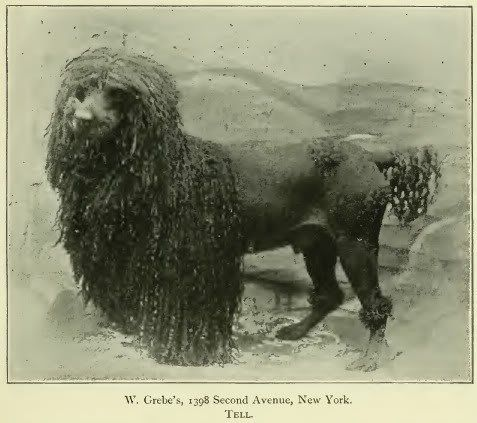 Pietoro  uploaded this image to 'Dog Breed Historical Pictures/Poodle'.  See the album on Photobucket.