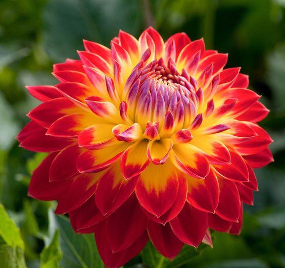 Jetzt ist die richtige Zeit gekommen, um Gladiolen und Dahlien zu pflanzen - Die Apfelblüte beginnt. Damit startet die schönste Zeit im Garten. Akeleien, Maiglöckchen und die Kastanienbäume hüllen Gärten und Parks in eine überschäumende Blütenpracht. Was ist jetzt zu tun? Mehr dazu hier: http://www.nachrichten.at/freizeit/haus_garten/Jetzt-ist-die-richtige-Zeit-gekommen-um-Gladiolen-und-Dahlien-zu-pflanzen;art123,1362781 (Bild: Hans Auinger)