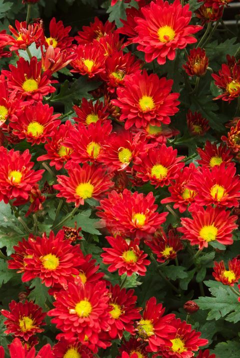 The Meaning Behind Popular Valentine S Day Flowers In 2020 Mums Flowers Chrysanthemum Flower Family Flowers