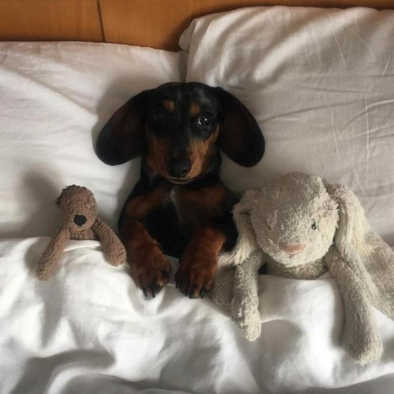 Five More Signs Your Dog Loves You Dachshund Dachshund Love