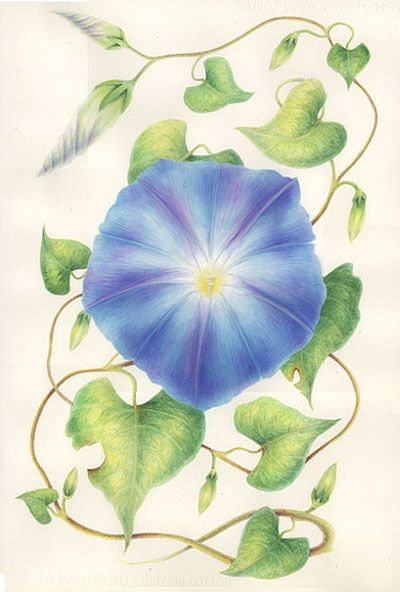 Folklore wild flowers and morning glories on pinterest for Flowers that represent love