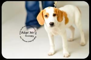 Snoopy Puppy is an adoptable Beagle Dog in Minneapolis, MN. You can fill out an adoption application online on our official website.       Can you spare a buck for a poor dog down on his luck? ...  ...