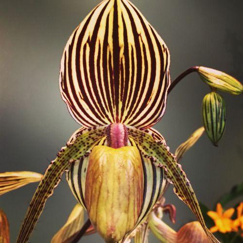 Orquídea por Mara Krumins