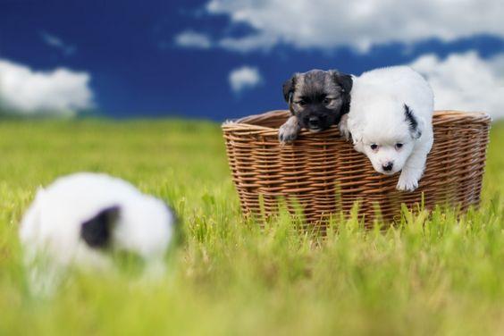 Spitz Mix Welpen So, ihr lieben Hunde – nun aber ab ins Körbchen! ☀☾★ Hundename: Welpen / Rasse: Spitz Mix      Mehr Fotos: https://magazin.dogs-2-love.com/foto/spitz-mix-welpen/ Bild, Hunde, Körbchen