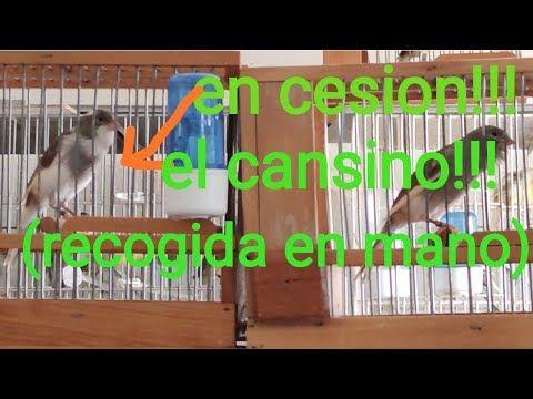 Pin En Canarios Guapos
