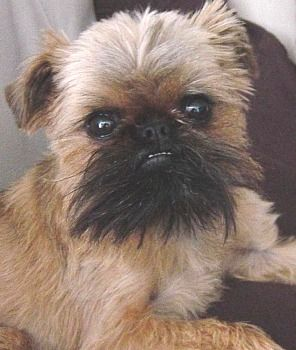 Brussels Griffon... If I could have any dog in the world it would be him... Or a bully!!!