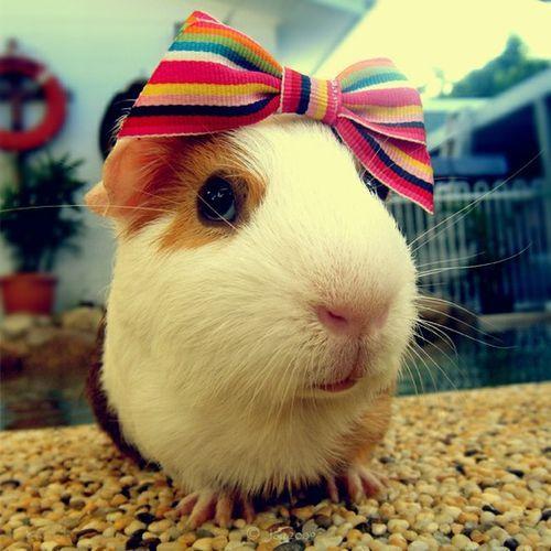 .: Guinea Piggies, Guineapigs, Cute Guinea Pigs, Adorable Animals, Guniea Pig, Cute Animals, Hair Bows, Animal Photos, Small Animal
