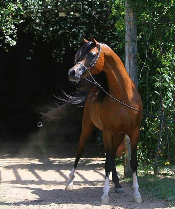 Besoon Carol Arabian Beautiful Horses Horses Most Beautiful Animals