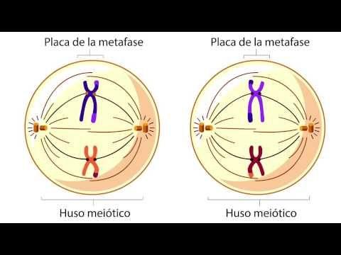 Youtube Mitosis Celulas La Meiosis