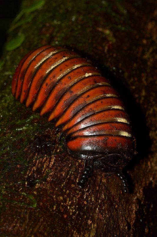 Giant pill millipede, Fraser's Hill, Malaysia. 20151101 ...