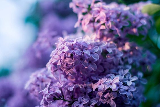 Planting Lilac Bushes & How to Grow Them | The Garden Glove