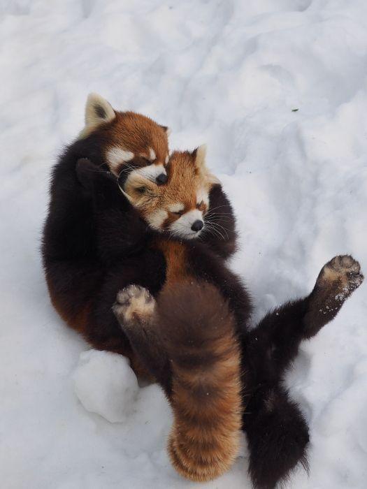 レッサーパンダ雪の上で遊ぶ姿