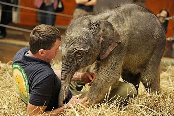 Jamuna Toni, a baby Asian elephant at the Hellabrunn Zoo in Munich, Germany
