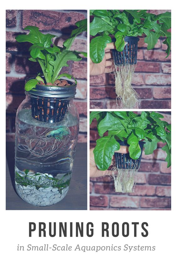 Aquaponics system swim and roots on pinterest for Best fish for hydroponics
