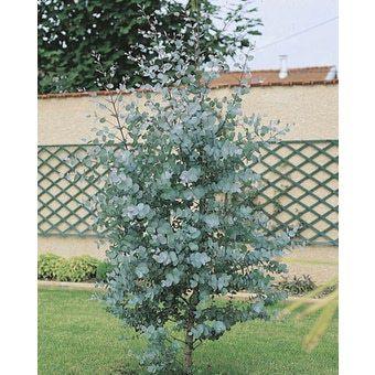 eucalyptus gunnii azura garden pinterest search. Black Bedroom Furniture Sets. Home Design Ideas