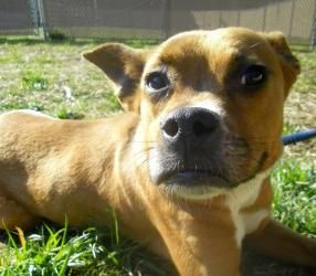 Kayla is an adoptable Boxer Dog in Lincolnton, NC. At Lincoln County Animal Services, there is an $85 dollar adoption fee. This fee covers the following services for your pet: * Spay or Neuter * Wormi...
