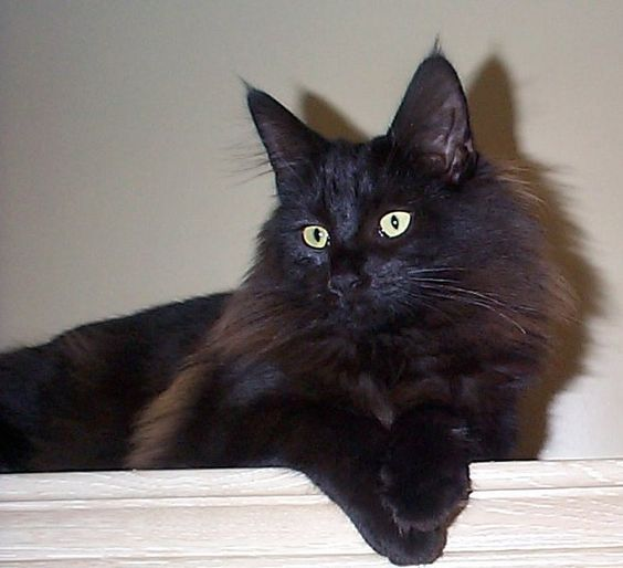 Purebred Norwegian Forest Cat For Sale