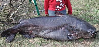 136 pound, 6 ounce Blue Catfish from Santee Cooper