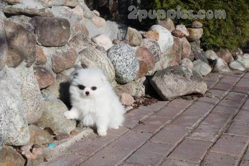 Find Your Dream Puppy Of The Right Dog Breed At 2puppies Dog Breeds Cute Pomeranian Pumi Dog