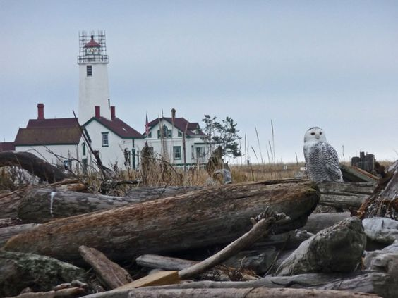 Dungeness Spit lighthouse with Snowy owl.