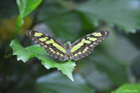 Maripos esmeralda (Siproeta stelenes)