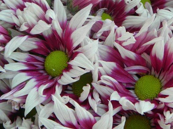 Chrysanthemuns