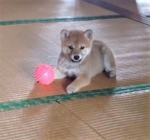 ボール遊びに夢中の柴犬の子犬 いつの間にかママさん放置 いぬのきもちweb Magazine 柴犬 子犬 柴犬 子犬