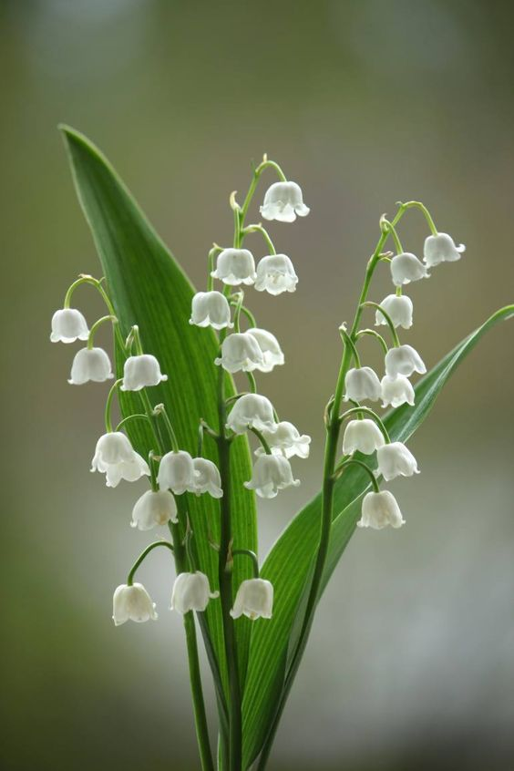 "Saatchi Art Artist Sonja Čvorović; Photography, ""Lily of the walley - Limited Edition 1 of 5"" #art"