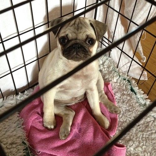 Pug jail