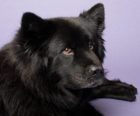 Samoyed Black Lab Mix lab chow schipperke mix - google search...this ...