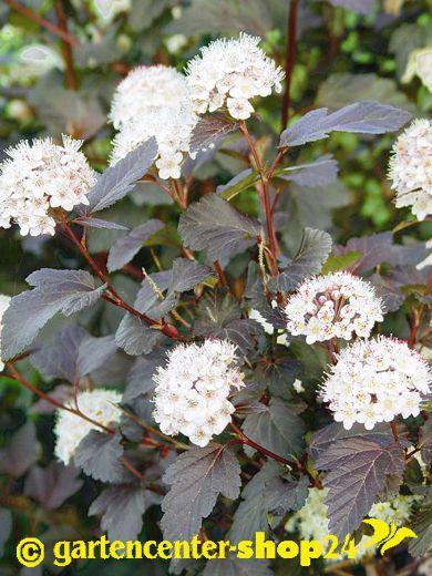 Physocarpus Diabolo, Rote Blasenspiere, hier online kaufen!