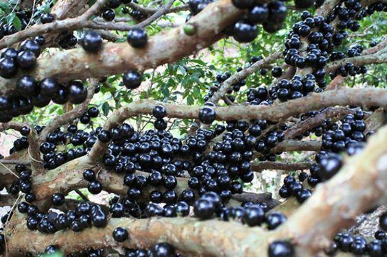 exotische früchte jaboticaba