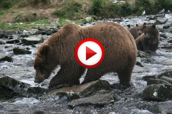 Grizzly bear attacks Alaskan tourists #accidents, #animals, #bears, #videos, #pinsland, https://apps.facebook.com/yangutu