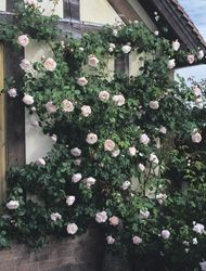 The Generous Gardener: Charming blooms of palest pink. Delicious scent: old rose, musk and myrrh. Up to 10 ft.
