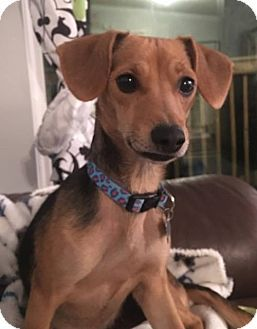 Dachshund adoption md