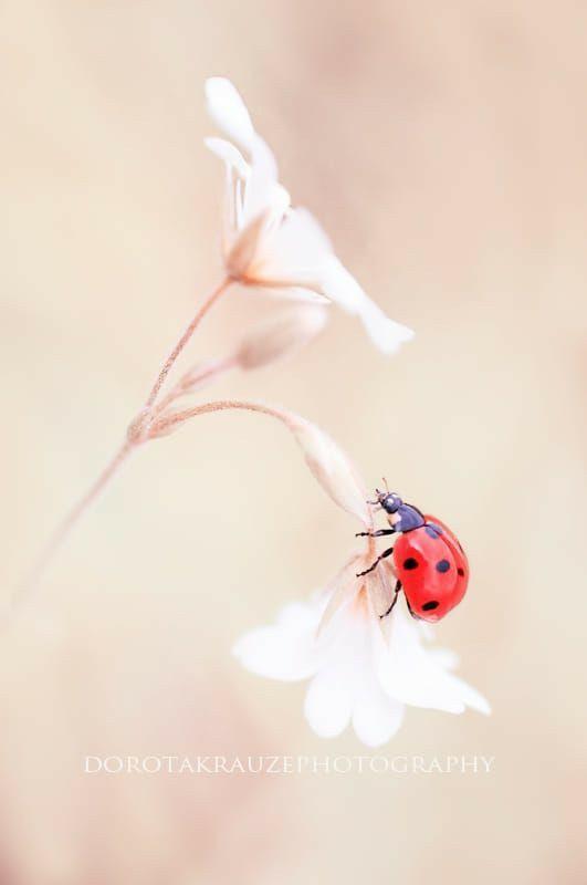 Pin By Sylwia Barczykowska On Biedronki Ladybug Beautiful Pictures Ladybird