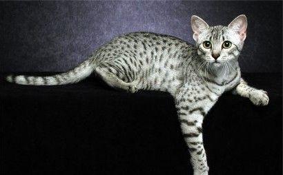 Mau egyptien <3 Egyptian Mau cat