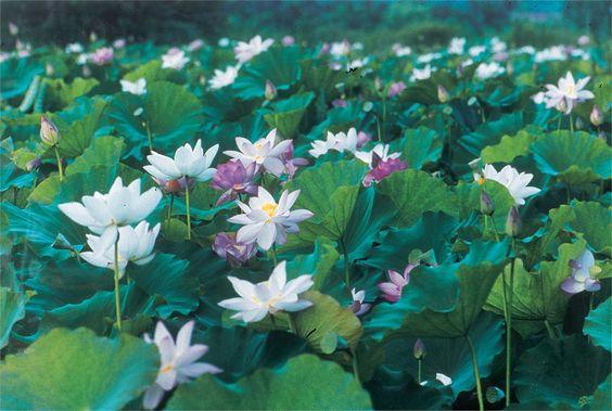 Hồ sen thơm ngát ở Mataian