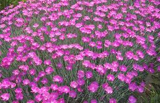 a low growing perennial like dianthus 39 firewitch 39 is great