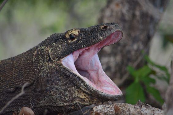 #KomodoDragon - Rinca Island #Indonesia - #wildlife #photography #travelling #asia
