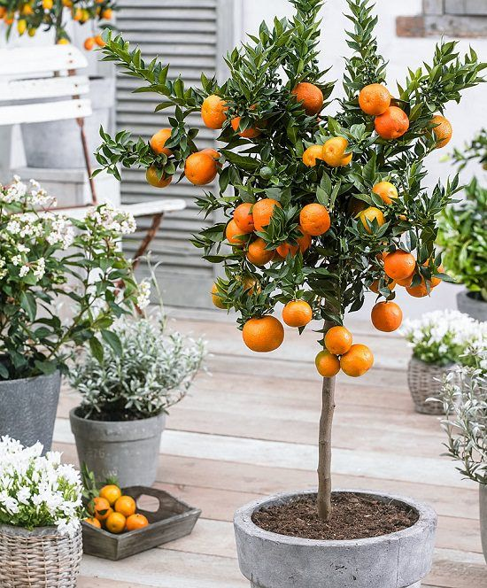 How To Grow An Orange Tree In A Container Citrus Trees Potted Trees Citrus Plant