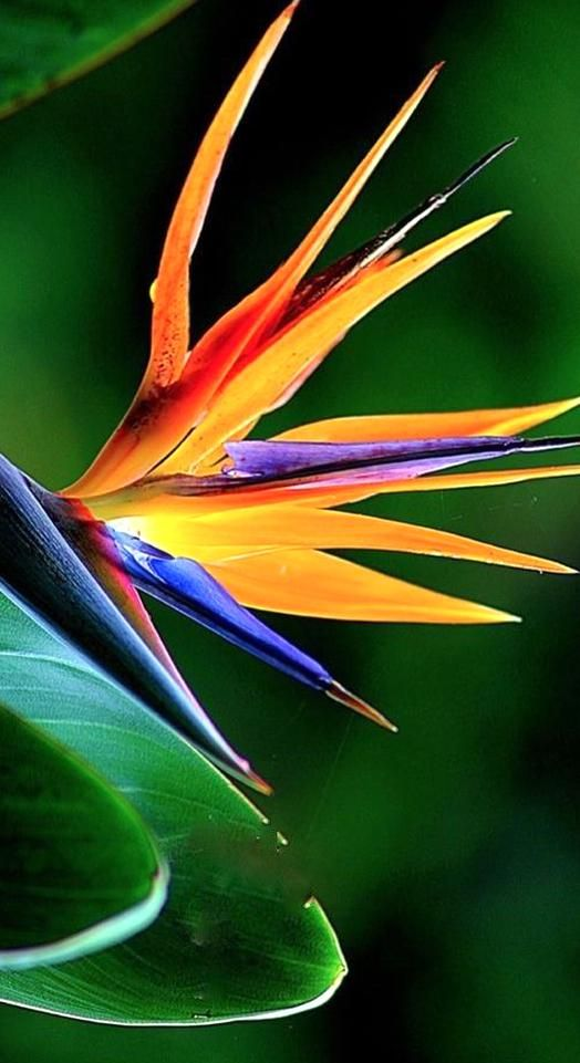 Strelitzia Reginae Also Known As Crane Flower Or Bird Of Paradise Is Native To South Africa An In 2020 Birds Of Paradise Plant Birds Of Paradise Flower Unusual Flowers