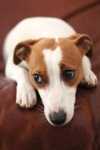 sad-little-jack-russel-terrier-dog-xs:
