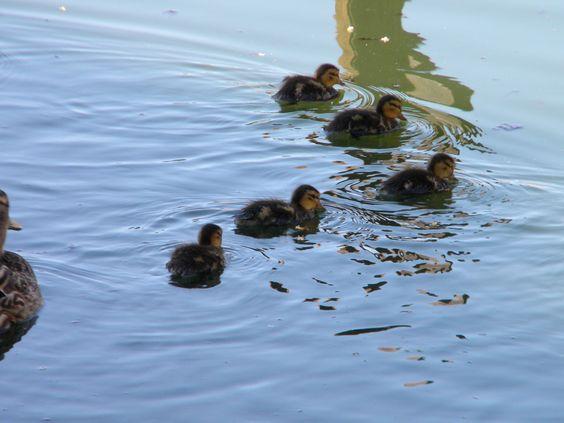 These precious ducklings.