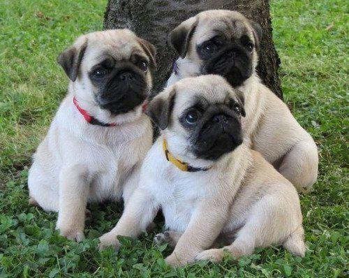 Photo Pug Pug Puppies Pugs For Sale Cute Pug Puppies