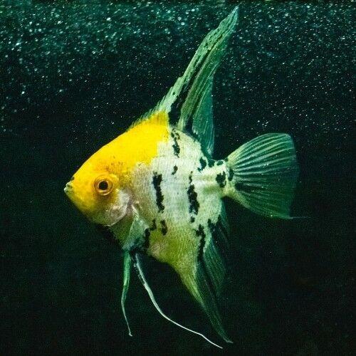 Pin On Angelfish Cichlids