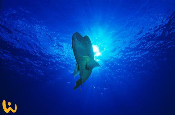 Definitiv ein Highlight für jeden Taucher! Sind diese Lippen nicht zum knutschen ♥ ? Ausgewachsen kann er bis zu 190kg schwer werden, unglaublich oder?  #touchedbynature #napoleon #lippfisch #malediven #sonne #tiefe #tiefblau #einzigartig #fantastischeaufnahme #highlight #hoheit #wirodive #fische #tauchen #kuss #knutschen #indischerozean #rifffisch #rotesmeer #ruhig #majestätisch #bigfishadventure #abenteuer #leidenschaft #liveyourlife