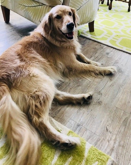 Golden Retriever Rescue Operating In The South Carolina Low