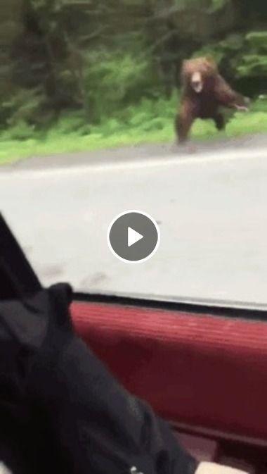 Urso feros tenta atacar carro.