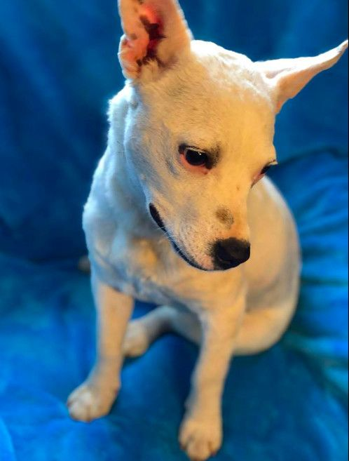Adopt Bobtail On Foster Dog I Love Dogs Terrier Mix Dogs